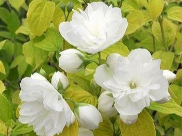 "FILADELFS PARASTAIS - JASMĪNS/PHILADELPHUS ""YELLOW HILL"""