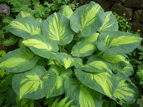 "HOSTA ""GREAT EXPECTATIONS"""
