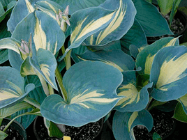 "HOSTA ""DREAM QUEEN"""