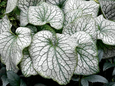 "BRUNNERA LIELLAPU ""ALEXANDERS GREAT"""