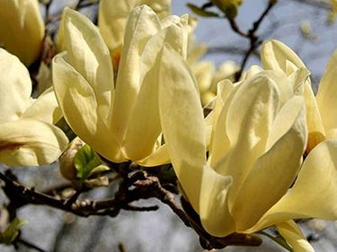 "​MAGNOLIJA /MAGNOLIA ""YELLOW RIVER"""
