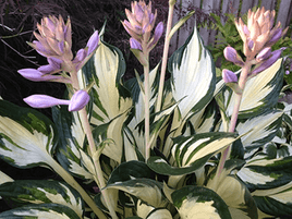 "HOSTA ""FIRE & ICE"""