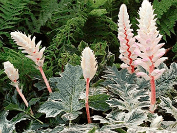 "ACANTHUS ""WHITEWATER"""
