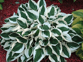 "HOSTA ""PATRIOT"""
