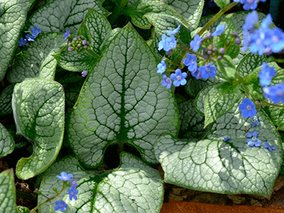 "BRUNNERA LIELLAPU ""SEA HEART"""